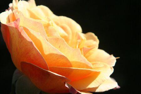 太陽をあいさつ薔薇
