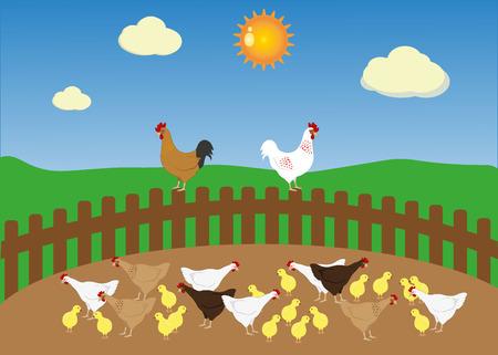 chicken family: Farm chicken family at summer