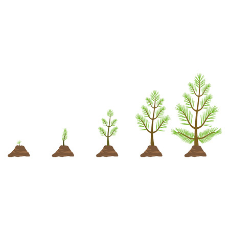 Growing pine tree