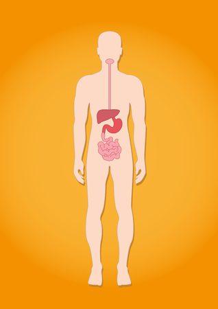 aparato respiratorio: La anatom�a humana: el sistema digestivo
