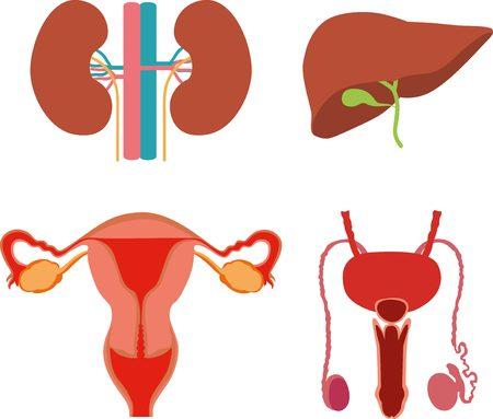 genitali: parti del corpo umano: uomo e donna genitali, reni, fegato