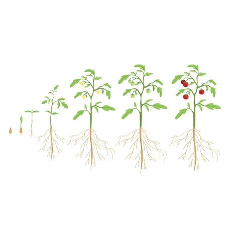 germinación: ciclo de la planta de tomate. el progreso de crecimiento.