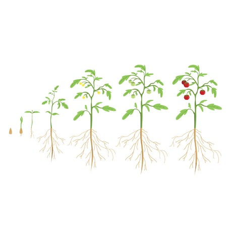 Tomatenpflanze Zyklus. Wachstum Fortschritt. Vektorgrafik