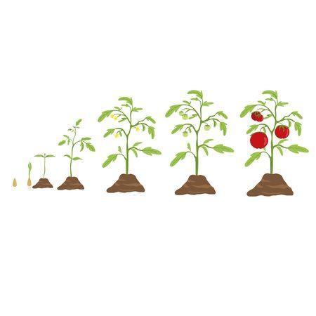 germinación: Tomate crecer ciclo. Desde pequeña semilla de tomate grande. Vectores