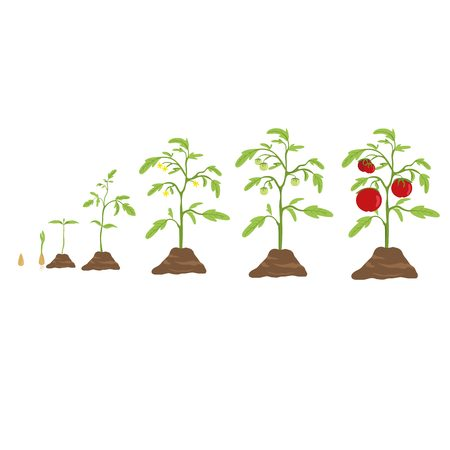 Tomato grow cycle. From small seed to big tomato.