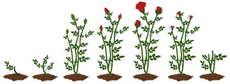 Stages of red rose plant growth