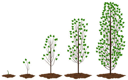 Five stages of growing maple poplar.