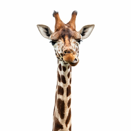 white background giraffe: Funny giraffes face