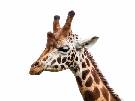 giraffe white background: Jirafa cabeza Foto de archivo