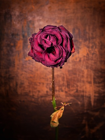 Grunge wilted rose over old leather background  Stock Photo - 14536587