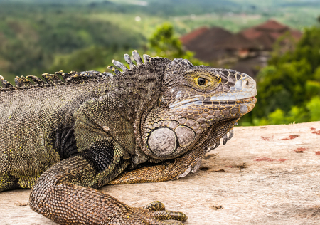 A close view of a head of an adult green iguana, also known as the American iguana. The iguana looks with its yellow very attentively. Stock Photo