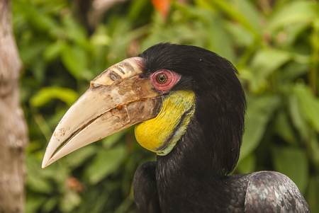 A close view of an exotic black hornbill with a long, down-curved bill. The hornbill looks with its eye very attentively.