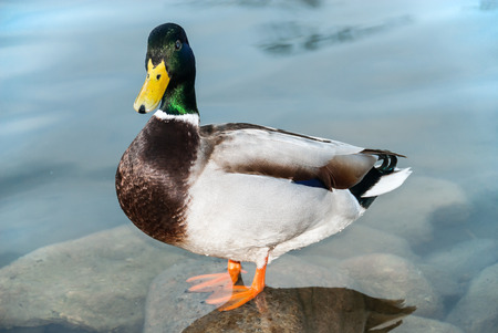 A close-up of a male duck standing on a stone in a very clear water and looking fixedly. It seems like the bird wants to say something.