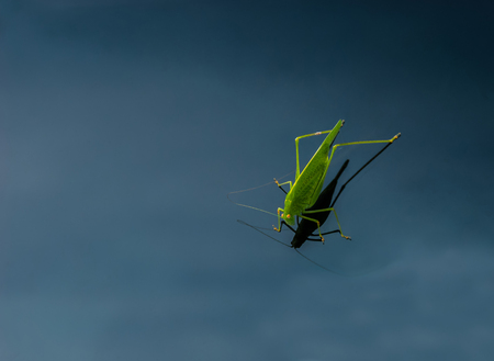 A bright green grasshopper with yellow compound eyes, powerful long hind legs and a pair of thread-like antennae sits on a windshield of a car. The photo could be good for a background.