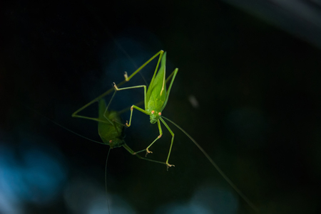 A close-up of a bright green grasshopper sitting on a windshield of a car and looking attentively with its yellow compound eyes