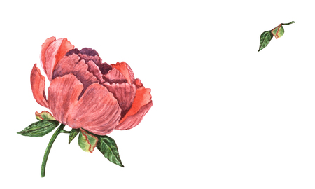 A hand drawn watercolor peony flower. Vintage botanical illustration of beautiful pink with purple plant isolated on the white background. For  invitation and greeting card, banner, print, design.