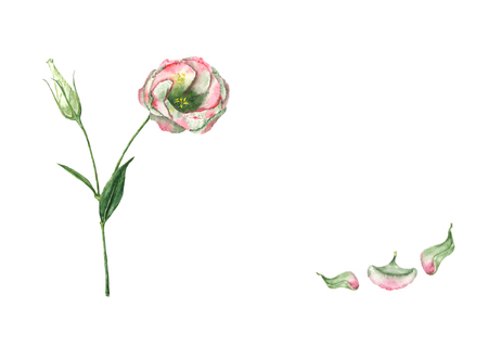 A hand drawn watercolor eustoma flower on the stem with a bud and three fallen petals. Vintage botanical illustration of the beautiful pink plant isolated on the white background with copy space. Standard-Bild