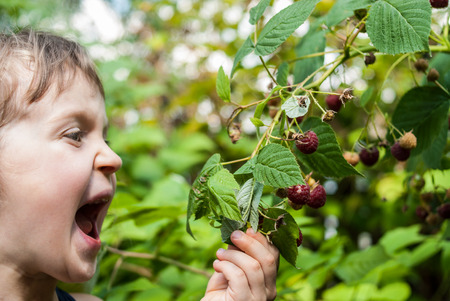 Portrait of a four-five years old girl holding a raspberry branch with open mouth and ready to eat a red berry from the bush. Concept - healthy food or hunger.