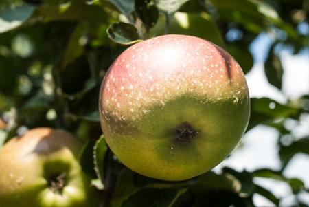 Closeup of a big ripe apple, hanging on the tree. Concept - fresh healthy food. Standard-Bild