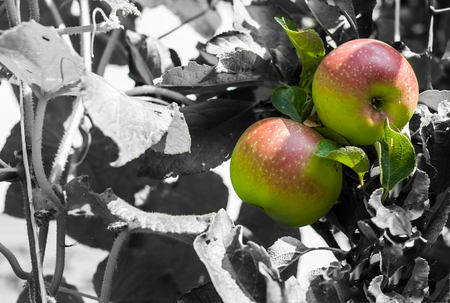 Closeup of two colorful apples, hanging on apple tree, on black and white background with copy space.