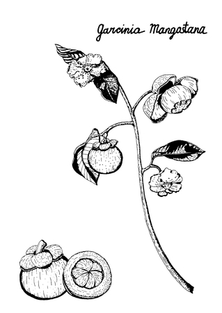 Vector botanical illustration of purple mangosteen branch of fruits, flowers, leaves. Garcinia Mangostana, isolated on white background, hand drawn in black and white.
