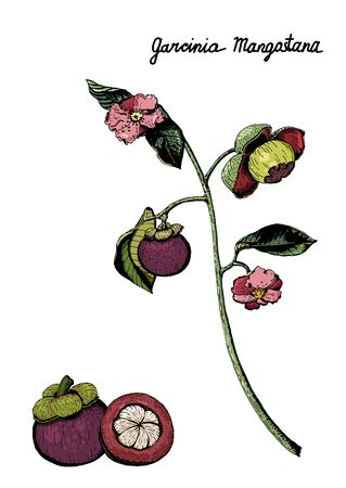Vector botanical illustration of colorful branch of  purple mangosteen fruits, flowers, leaves. Garcinia Mangostana, isolated on white background, hand drawn and colored. 版權商用圖片 - 133458655