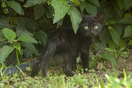 Little cute black kitten standing and looking back with its green eyes through green summer plants. Standard-Bild