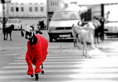 standing out from the crowd: Goat in the red sweater walking through the road  Stock Photo