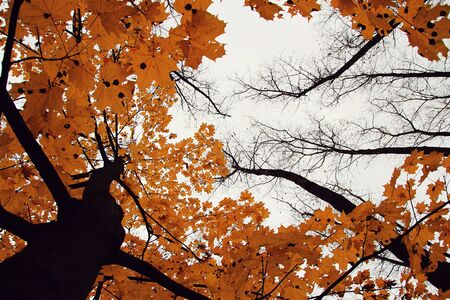 Picture of the treetop on white background with yellow leaves.