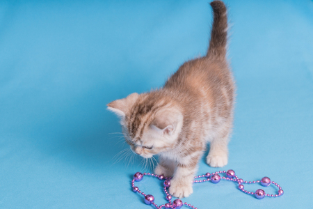 Cute baby British kitten with stubby tail jumping and playing on blue background.
