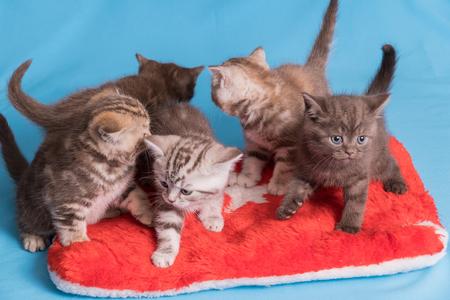 Five British kittens on blue violet background. Stockfoto