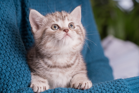 Cute baby British kitten with stubby tail in the hands Stockfoto