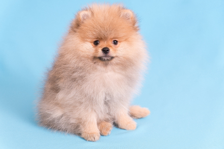 Young puppy Spitz looks at the camera, on blue background Stok Fotoğraf