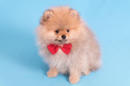 Young puppy Spitz with red butterfly on blue background Stockfoto