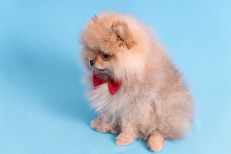 Young puppy Spitz with red butterfly on blue background. Stockfoto