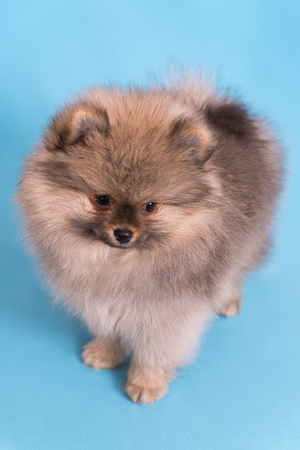 Young puppy Spitz looks at the camera, on blue background.