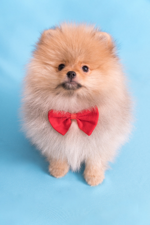 Young puppy Spitz with red butterfly looks at the camera, on blue background.