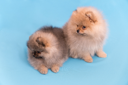 pomeranian puppy the age of 2 month isolated on blue.