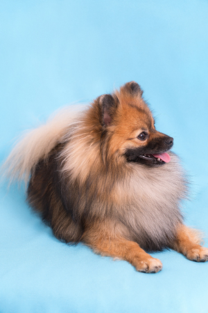 Young Spitz posing on camera, on blue background. Stok Fotoğraf