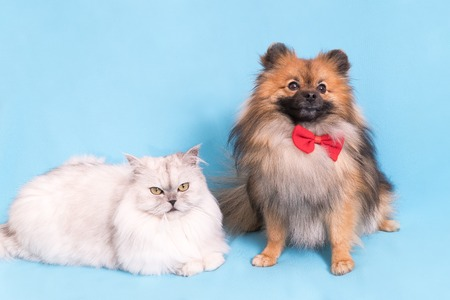 White cat and spitz dog together. looking at camera. isolated on blue background.