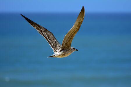 seagull in flight on the ocean Stock Photo