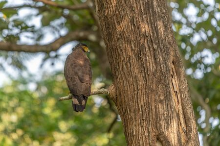 An Crested Serpent Eagle Perching and in Search of Next Meal Stock Photo