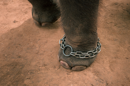 chaining: Elepahnt feet chained Stock Photo