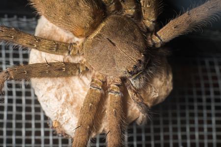 sac: Female huntsman spider holding its egg sac