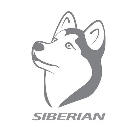 husky puppy: Siberian husky on white background.