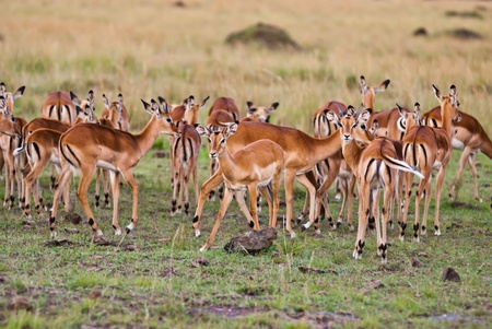 Group of wild gazelle standing together in the wild, taken from Kenya  Stock Photo