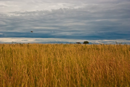 Great plain of Masai Mara, taken on a cloudy day with wild grass  photo