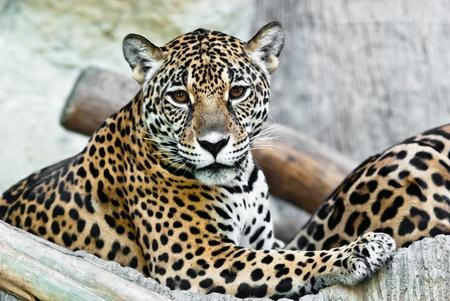 Léopard sauvage, pris sur une journée ensoleillée, peut être utiliser pour divers concepts d'animaux sauvages et les aboutissants d'impression