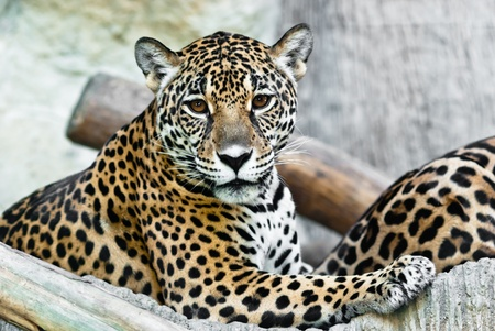 leopard head: Wild Leopard, taken on a sunny day, can be use for various wild animal concepts and print outs Stock Photo