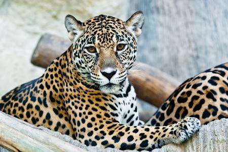 Sauvage léopard, pris sur une journée ensoleillée, peut être utiliser pour divers concepts d'animaux sauvages et les aboutissants d'impression